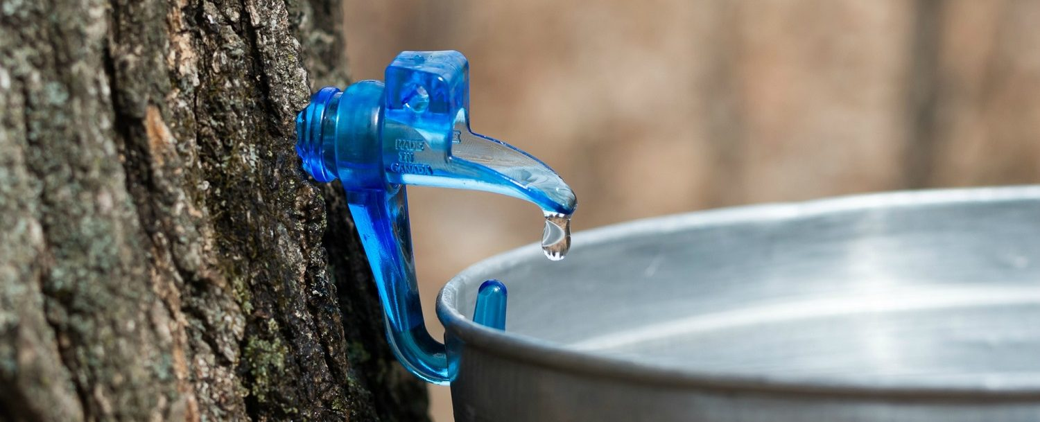 maple tapping with maple going into bucket