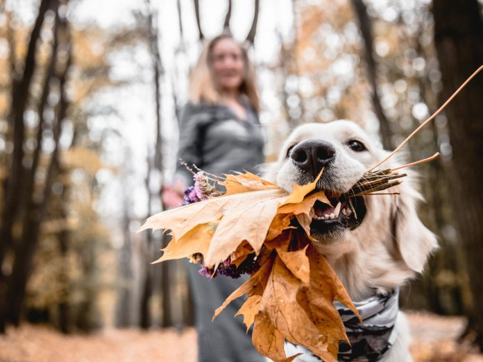 Dog hiking with leaves in his mouth.