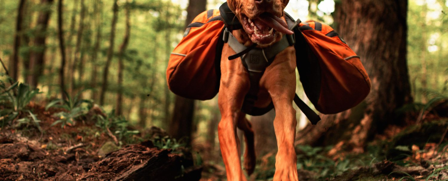 Dog hiking through the woods with a backpack on.