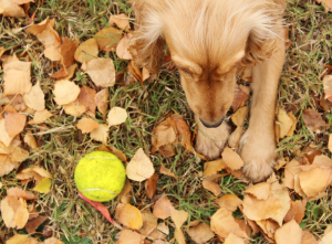Dog playing with a tennis ball in leaves.